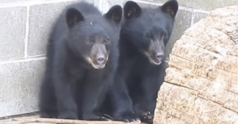 He was supposed to kill these 2 bear cubs. He saved them instead. Now he might lose his job. | enjoy yourself | Scoop.it