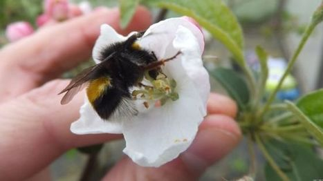 IPI funded: Pesticide exposure in bumblebees 'harms pollination' - BBC News | BIOSCIENCE NEWS | Scoop.it