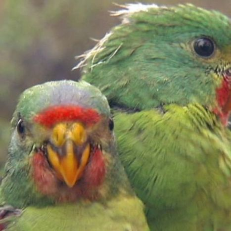 Arborists to carve nests for endangered parrots after trees used for firewood | treetools | Scoop.it
