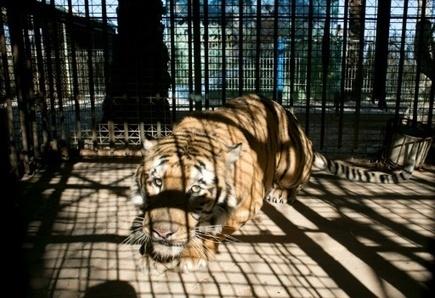 Le dernier tigre de Gaza exfiltré par des amis des bêtes - Magazine GoodPlanet Info | Biodiversité | Scoop.it