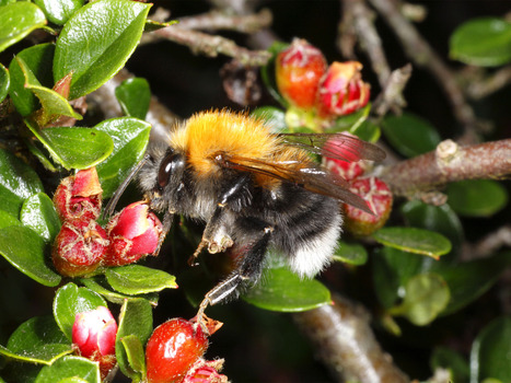 Invasion of tough European bumblebees could wipe out their weaker British cousins, scientists warn   21st Century Living   Scoop.it