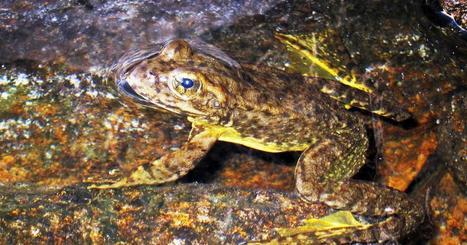 Scientists: Endangered Sierra Nevada yellow-legged frog rebounding in Yosemite Park | Focus on Biology | Scoop.it