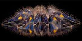 Tarantulas have evolved cobalt blue color at least eight times during evolution | Amazing Science | Scoop.it