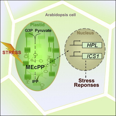 Cell - Retrograde Signaling by the Plastidial Metabolite MEcPP Regulates Expression of Nuclear Stress-Response Genes | Arabidopsis | Scoop.it