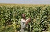 South Africa raises 2014 maize output forecast | MAIZE | Scoop.it