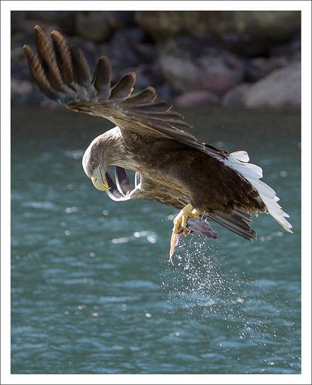 Sea Eagle - Isle of Skye   British Birds of Prey   Scoop.it