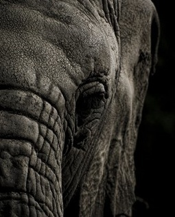 Zim elephant population down 6.8% in 3 years - report | Pachyderm Magazine | Scoop.it