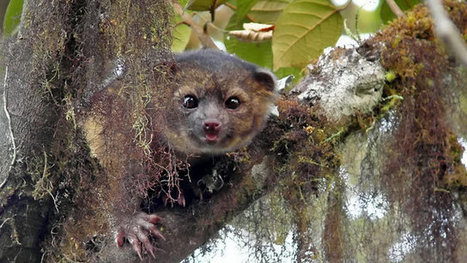 Olinguito: the newly discovered mammal - video | Earth, our Sweet Home! | Scoop.it