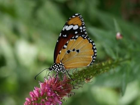 Photos de Papillons : Petit monarque - Danaus chrysippus - Papilio chrysippus - Monarque africain - African Monarch | Fauna Free Pics - Public Domain - Photos gratuites d'animaux | Scoop.it