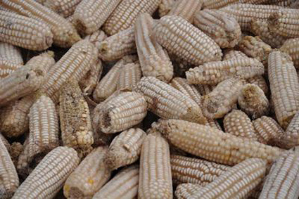 New study quantifies aflatoxin exposure in Kenya | Technology R &D, Transfer, Commercialization and the Food Value Chain-- for Enhanced  Food Security, Nutrition, Health and Economic Development | Scoop.it