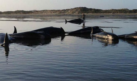 Did oil companies just cause the deaths of more than 100 stranded whales? | GarryRogers Biosphere News | Scoop.it