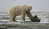 Canada's Inuit roar in protest over moves to discourage their polar bear hunts - Grand Forks Herald | Aboriginal Perspectives | Scoop.it