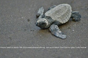 Velas Turtle Festival @Rs1850 Saturday 5th - 6th April 2014 to witness the Turtle hatchlings | Sahyadri Trekking | Scoop.it