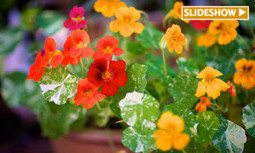 11 Edible Flowers to Grow in Your Garden | EcoWatch | Scoop.it