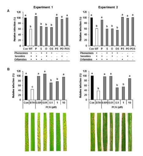 Role of phenazines and cyclic lipopeptides produced by Pseudomonas sp. CMR12a in induced systemic resistance on rice and bean   Rice Blast   Scoop.it