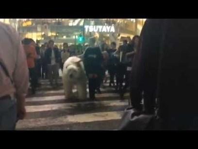 A #Tokyo, un ours polaire dans les rues de #Shibuya | What makes Japan unique | Scoop.it