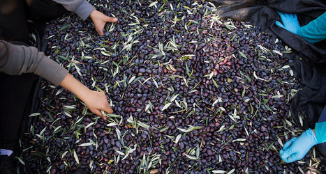 Israeli and Palestinian Farmers Unite Over Olive Oil | Jewish Education Around the World | Scoop.it