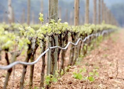Vaucluse : Le vigneron bio refusait le traitement contre la cicadelle | Mes passions natures | Scoop.it