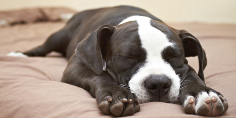 LOOK: Pit Bulls Are Just About The Nicest Dogs There Are | Pet Services | Scoop.it