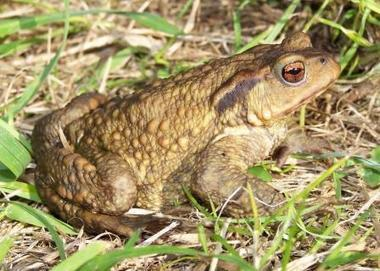 Amphibian and Reptile Conservation Trust | Latest news | Toads in Jersey Revealed to be New British Species | Paneco Press: Species Watch | Scoop.it