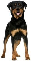 Rottweiler: Health Issues & Personality | Breeds and Such | Scoop.it