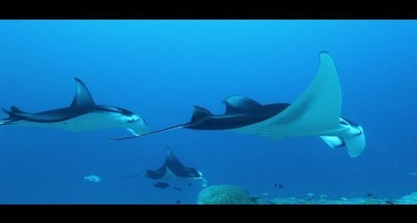 Vidéo plongée HD | Maldives - Escadrille de raies manta à Addu Atoll ! | Rays' world - Le monde des raies | Scoop.it