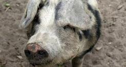 EUROPE : Los cazadores europeos del Mesolítico ya criaban cerdos   World Neolithic   Scoop.it