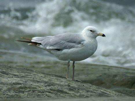 Photos d'oiseaux : Goéland à bec cerclé - Larus delawarensis - Ring-billed Gull | Fauna Free Pics - Public Domain - Photos gratuites d'animaux | Scoop.it