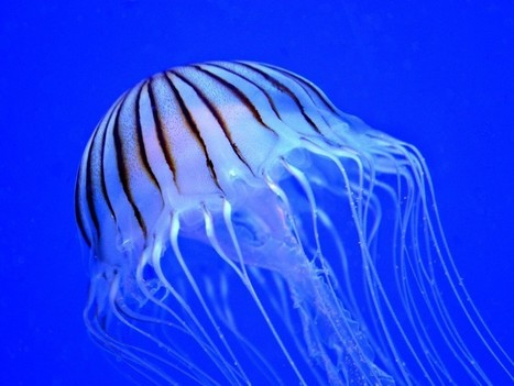 Qué hacer ante la picadura de una medusa | I didn't know it was impossible.. and I did it :-) - No sabia que era imposible.. y lo hice :-) | Scoop.it