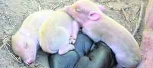 3 crias albinas de cerdo nacen en la Region de Murcia. Noticias nutricion animal | Guellcom Creative Solutions | Scoop.it