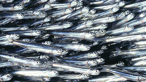 Something fishy - Economist (2015) | Ag Biotech News | Scoop.it