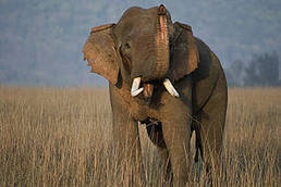 All About Elephants | Biodiversity IS Life  – #Conservation #Ecosystems #Wildlife #Rivers #Forests #Environment | Scoop.it