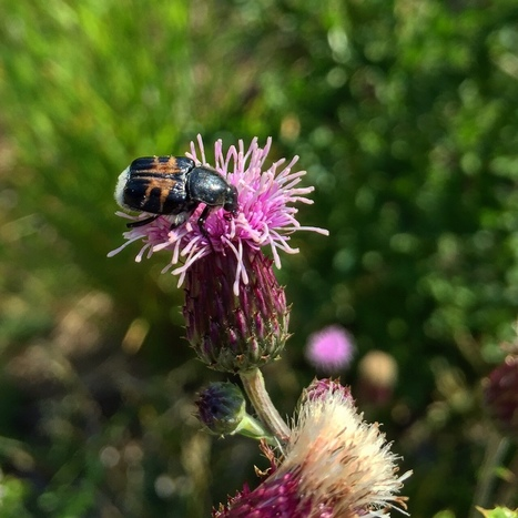 Biodiversity: Scientists say other insects beside bees are also an important part of the pollinator picture | GarryRogers Biosphere News | Scoop.it
