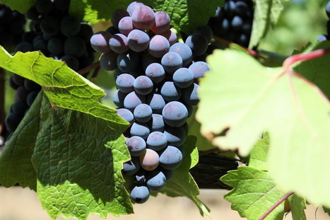 Revealed: why your Pinot noir is actually a Pinot blanc (or was that a Pinot gris?) | Erba Volant - Applied Plant Science | Scoop.it