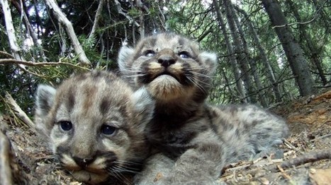 Fecundity and Cougar Kittens - National Geographic | Environmental Education & Wildlife Conservation | Scoop.it