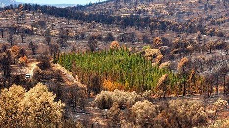 España: resuelven el enigma de los cipreses que resisten incendios - BBC Mundo | Educacion, ecologia y TIC | Scoop.it
