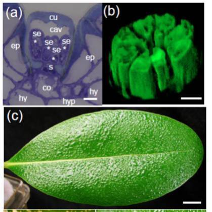 Plant Cell Environ: Salt Glands in mangrove | Emerging Research in Plant Cell Biology | Scoop.it