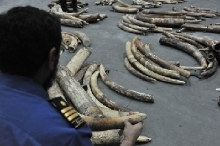 Dubai police foil attempt to smuggle 215 pieces of ivory | Wildlife Trafficking: Who Does it? Allows it? | Scoop.it