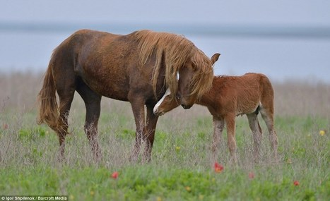 The marooned Mustangs of Manych: Stallions return to the wild after being stranded on a remote island for SIXTY years | Horseback Riding | Scoop.it