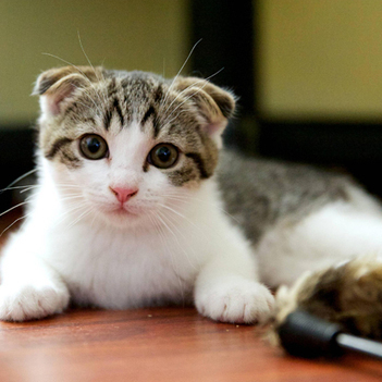 Scottish Fold Cat | Cat Breeds Information | Scoop.it