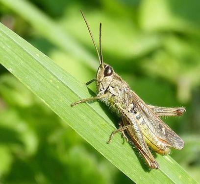 [Stage] Opie. Mise en forme de données naturalistes et préparation à la réalisation de la Liste rouge régionale des Orthoptères | Variétés entomologiques | Scoop.it