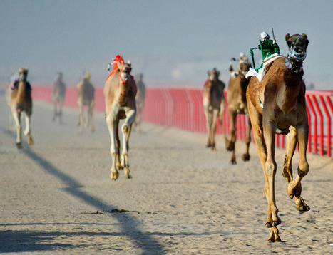 Robot camel riders conquer the desert | Strange days indeed... | Scoop.it