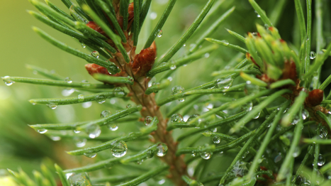 Don't Waste That Christmas Tree: Turn It Into Spruce Beer : NPR   Local Economy in Action   Scoop.it