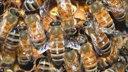 Dramatic honeybee shortage threatens Calif. almond crop, nation's food supply | news10.net | Sustain Our Earth | Scoop.it