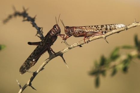 Locusts: Agricultural Menace and Kosher Snack - PRI | Mrs. Nesbitt's Human Geography World | Scoop.it