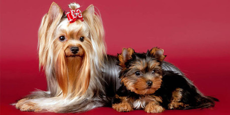 Yorkshire-Terrier: un cane indipendente, sveglio e vivace   best5.it   Vari   Scoop.it