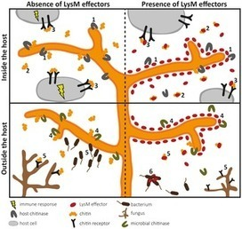 LysM Effectors: Secreted Proteins Supporting Fungal Life | amcrasto.doc | Scoop.it