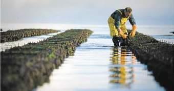 Les ostréiculteurs face à lasurmortalité des huîtres | agriculture, alimentation et autres fables | Scoop.it