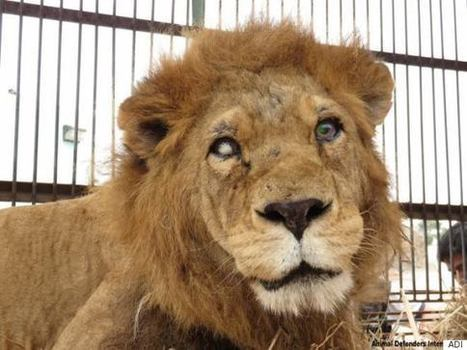 These Mutilated Lions Rescued From Circuses Are One Step Closer To Freedom | Nature Animals humankind | Scoop.it