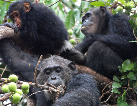 Chimps and humans share another unexpected evolutionary link: gut bacteria | Amazing Science | Scoop.it